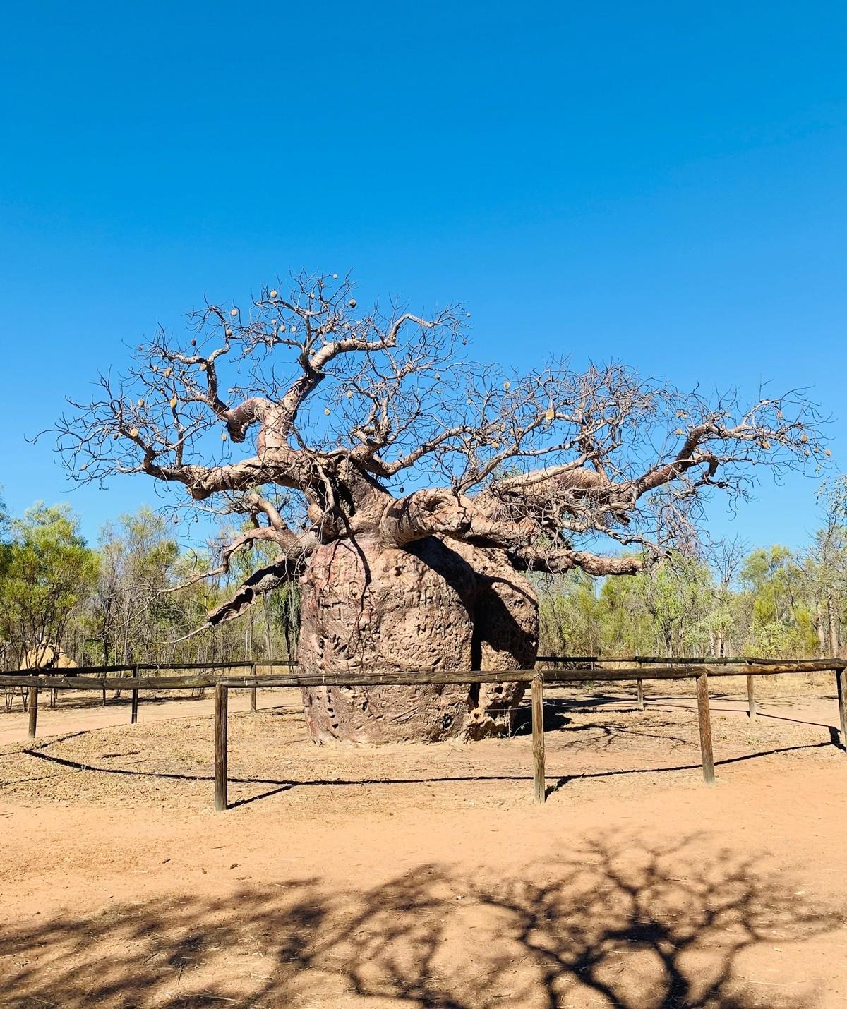Prison Boab Tree