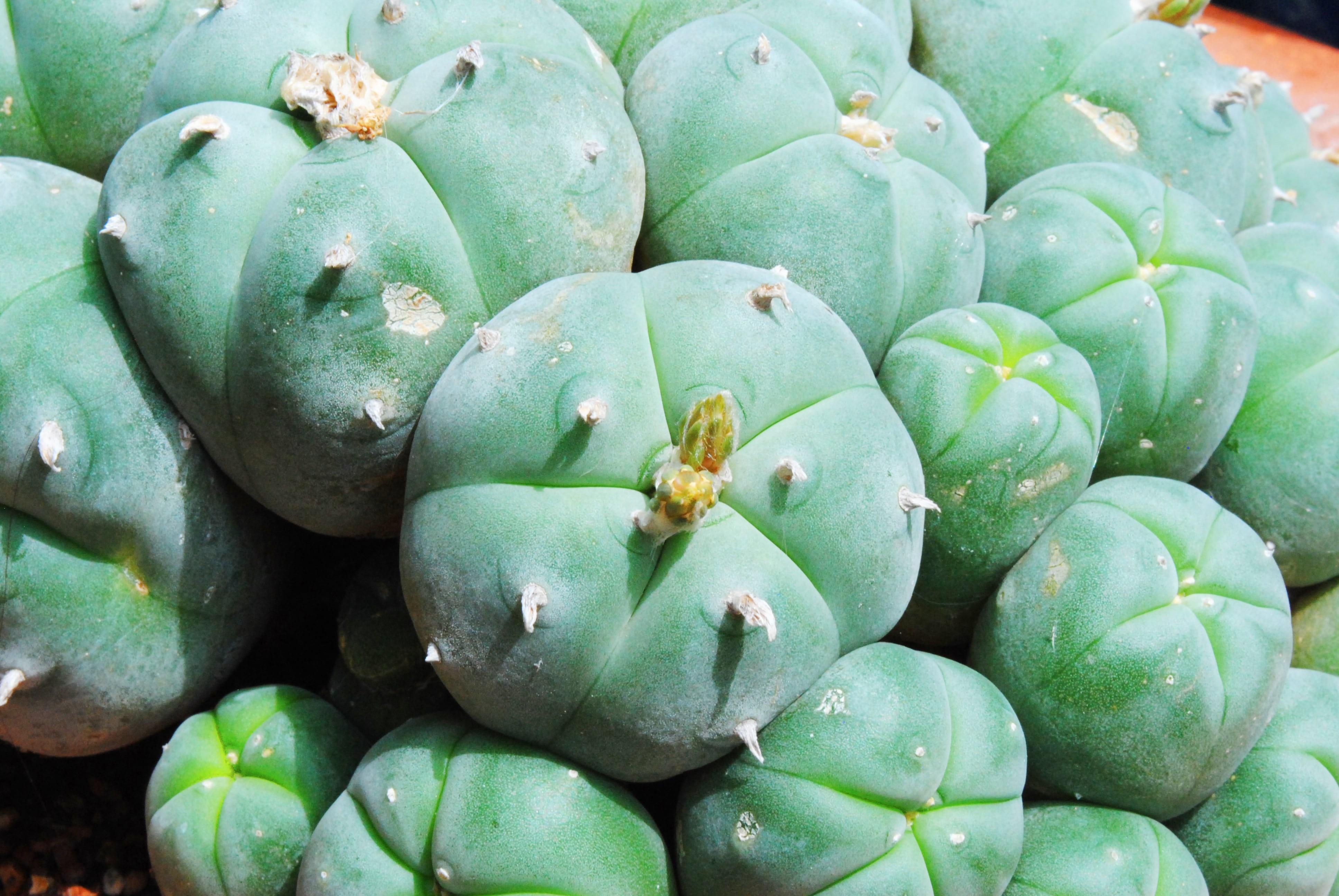 cactus à mescaline